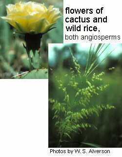 Flowering plant examples: flowers of cactus and wild rice, both angiosperms.