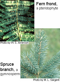 Non-flowering plant examples: fern frond, a pteridophyte; and spruce branch, a gymnosperm.