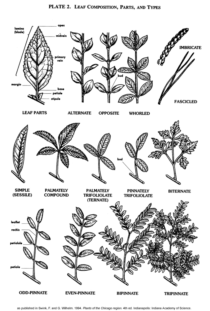 Vplants vplants plate 2 leaf composition parts and types for Garden trees types